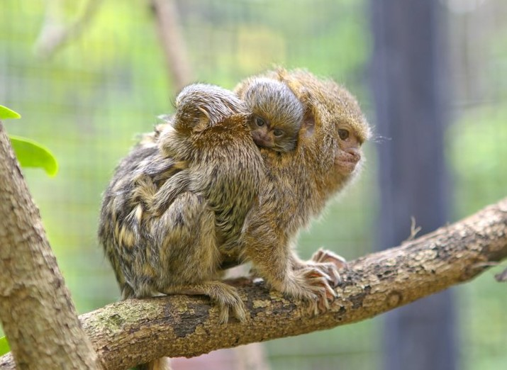 Картинки самой маленькой обезьянки в мире склад